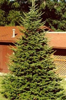 Christmas Tree Types - Canaan Fir