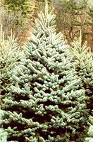 Christmas Tree Types - Blue Spruce