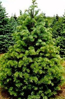 Christmas Tree Types - Concolor
