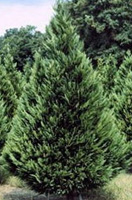 Christmas Tree Types - Leyland Cypress