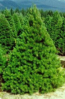 Christmas Tree Types - Scotch Pine